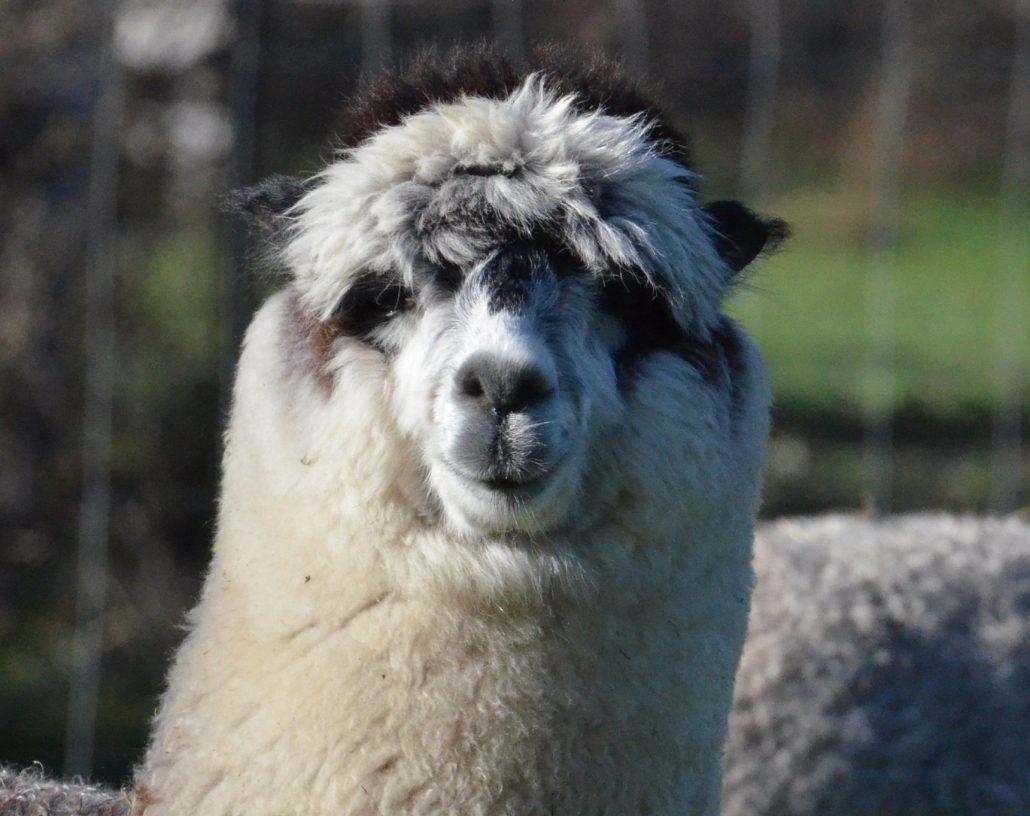 alpaca-achterhoek-Pit