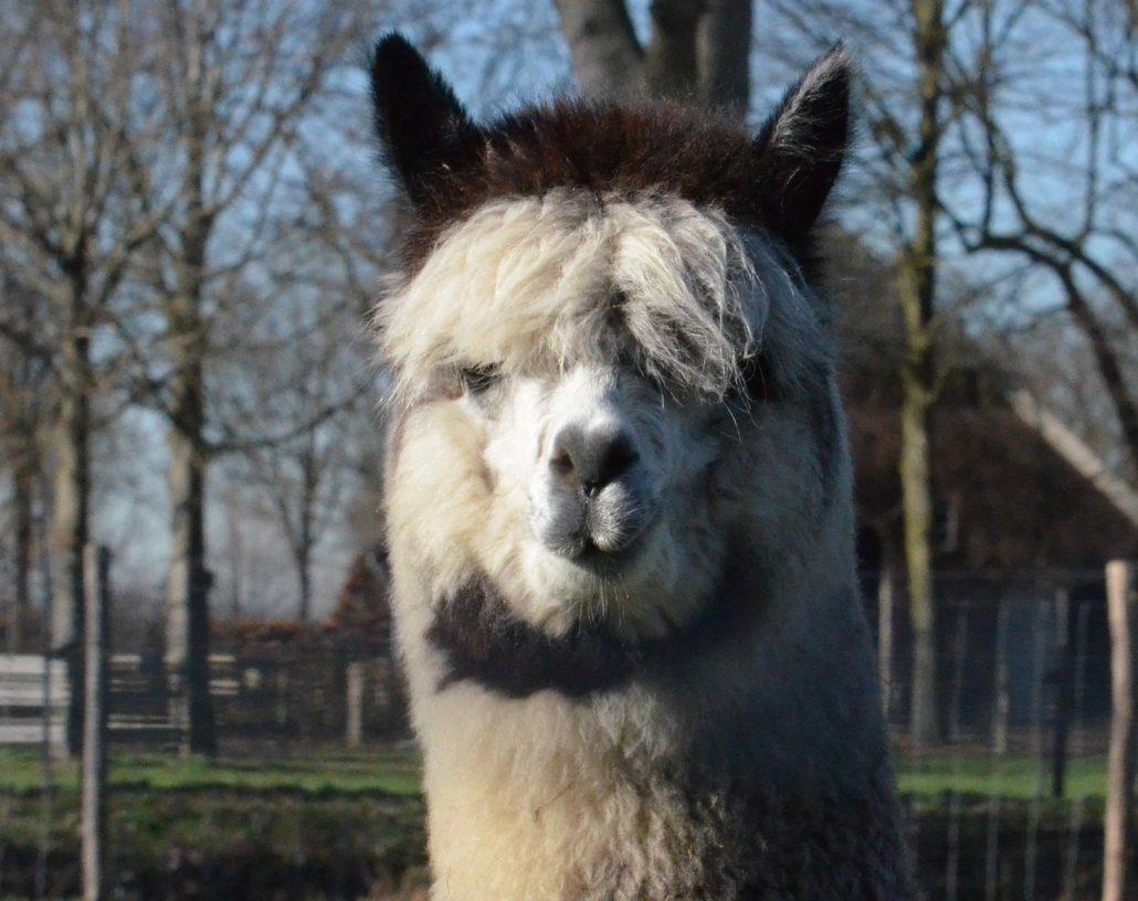 alpaca-achterhoek-arya