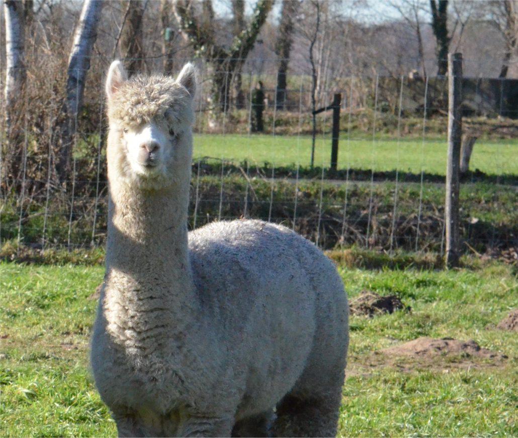 alpaca-achterhoek-henry