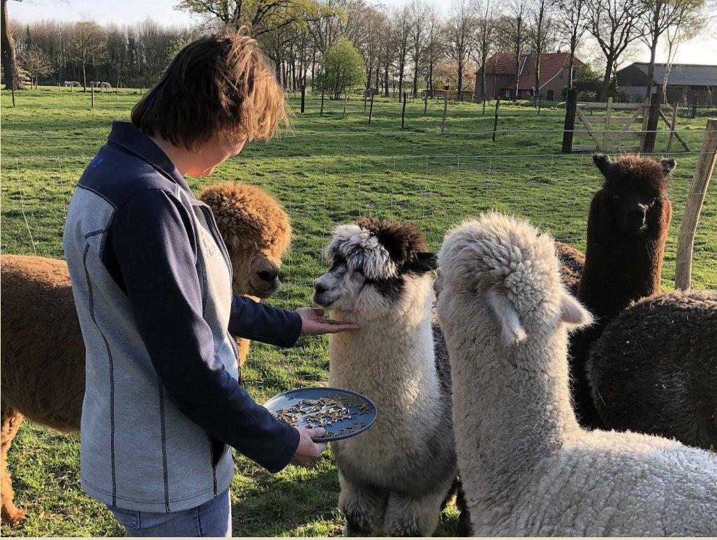 alpaca-interactie-gelderrland-achterhoek