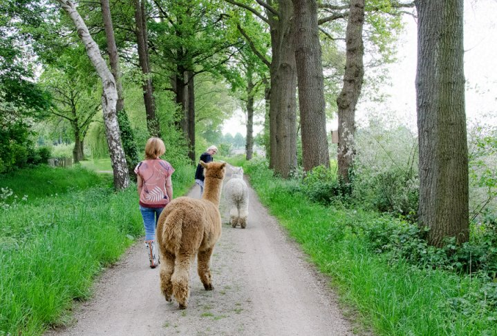 alpaca-als-therapiedier-veerkracht-training