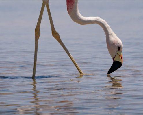 flamingo-zwillbrocker-venn-groenlo-achterhoek-duitsland