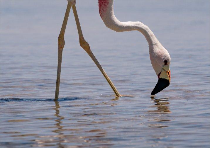 Flamingo's spotten, Zwillbrocker Venn, bij Groenlo, Rekken, Achterhoek, Vreden, grens Duitsland