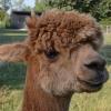 alpaca-achterhoek-greet-meet-amadeus