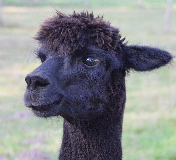 alpaca-achterhoek-greet-meet-arya