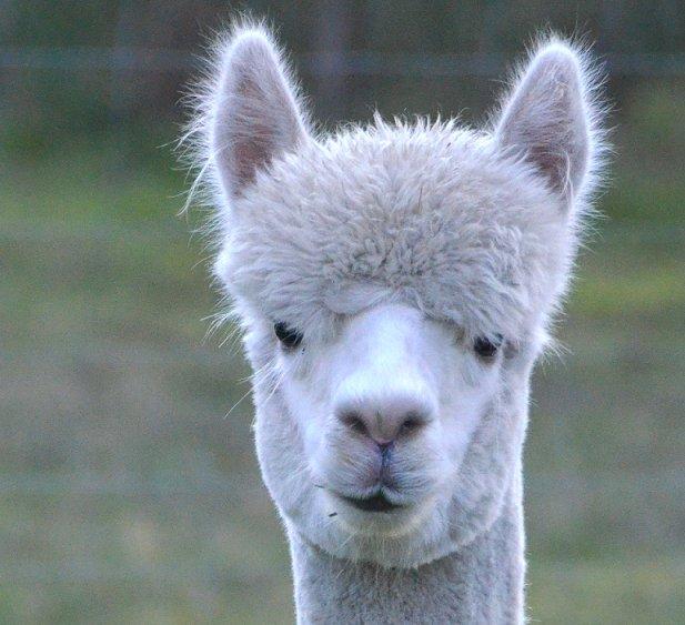 alpaca-achterhoek-greet-meet-henrie
