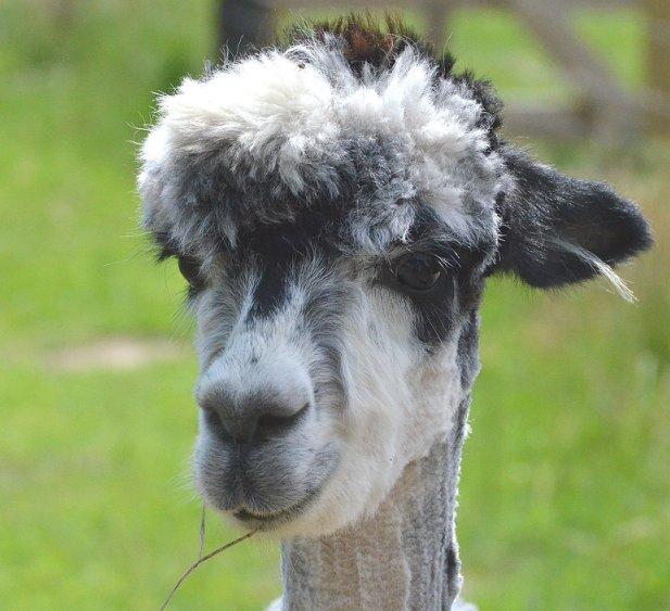 alpaca-achterhoek-greet-meet-pityu