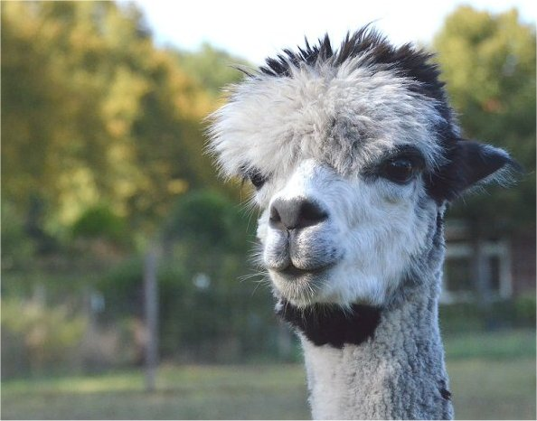 alpaca-achterhoek-greet-meet-winter-2