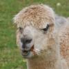 alpaca-achterhoek-greet-meet-wandelen-gelderland-buster