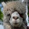 wandelen-alpaca-achterhoek-gelderland