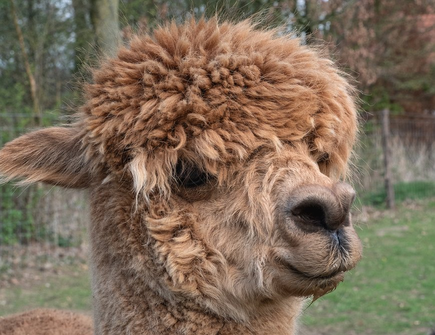 hoe duur is een alpaca