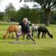 yoga-tussen-de-alpacas-achterhoek-borculo-lochem-diepenheim-neede