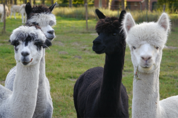 alpacas-in-de-achterhoek-gelderland-geesteren