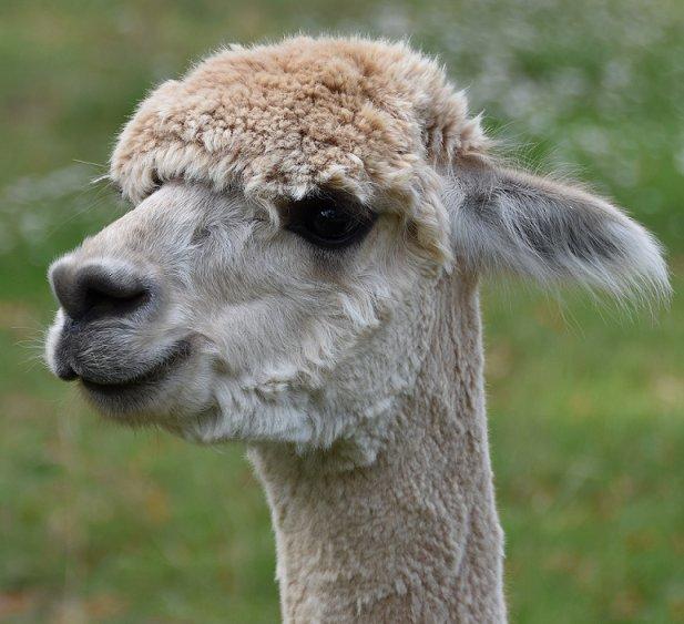 alpacas-in-de-achterhoek-gelderland-geesteren-greet-and-meet