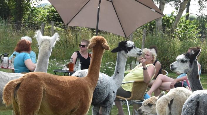 yoga-achterhoek-bij-alpacas-gelderland