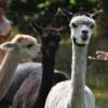 yoga-achterhoek-bij-alpacas-gelderland-geesteren