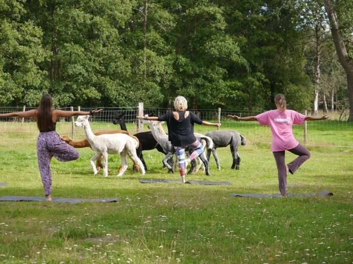 yoga-in-de-achterhoek-alpacas-gelderland-geesteren