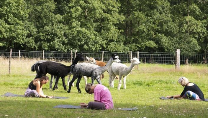 yoga-tussen-de-alpacas-achterhoek-gelderland
