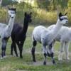 alpacas-achterhoek-wollen-mutsen