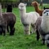alpaca-achterhoek-yurt-gelderland