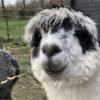 alpacas-in-de-achterhoek, geesteren, gelderland, nederland