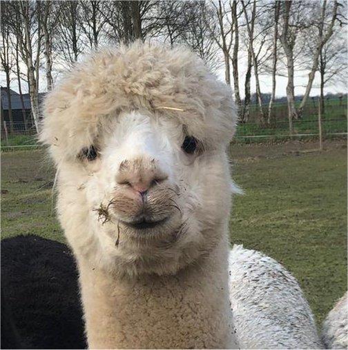 alpaca-achterhoek-wandelen-knuffelen-alpacafarm