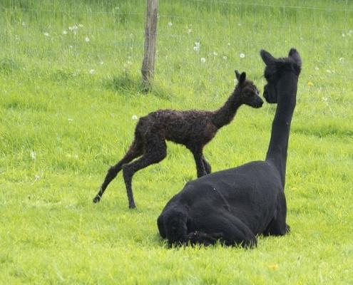 alpaca-achterhoek
