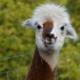 Alpacas-Achterhoek-Kempers