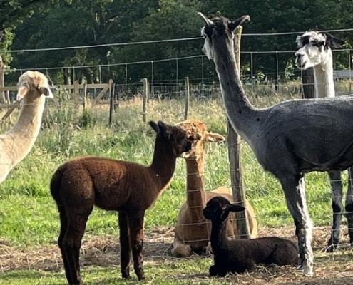 alpacas-achterhoek-bezoek